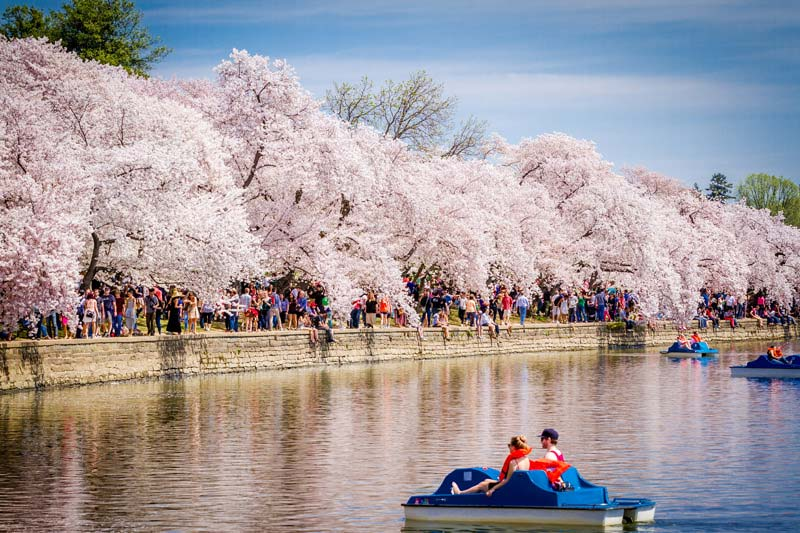 guide to the national cherry blossom festival  washington, Natural flower