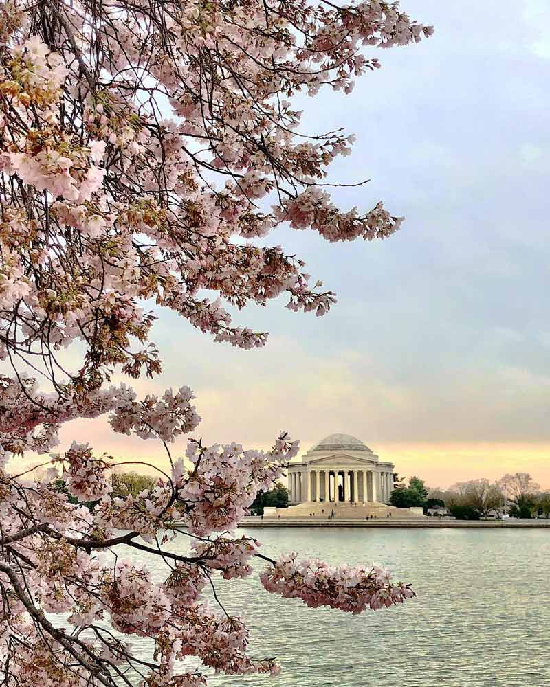 @brittmichele15 - Cherry blossom peak bloom sunrise over the Tidal Basin - Cherry blossom trees in Washington, DC