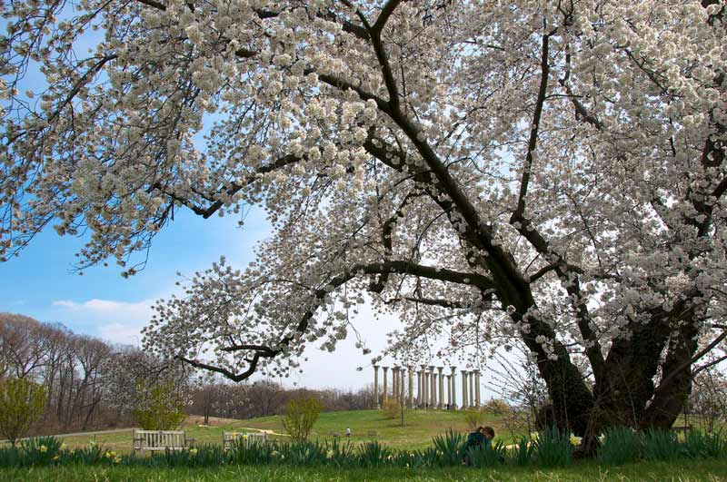 Cherry blossoms at the National Arboretum - Spring in Washington, DC