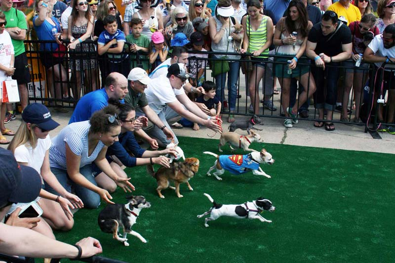Running of the Chihuahuas at the District Wharf - Cinco de Mayo in Washington, DC