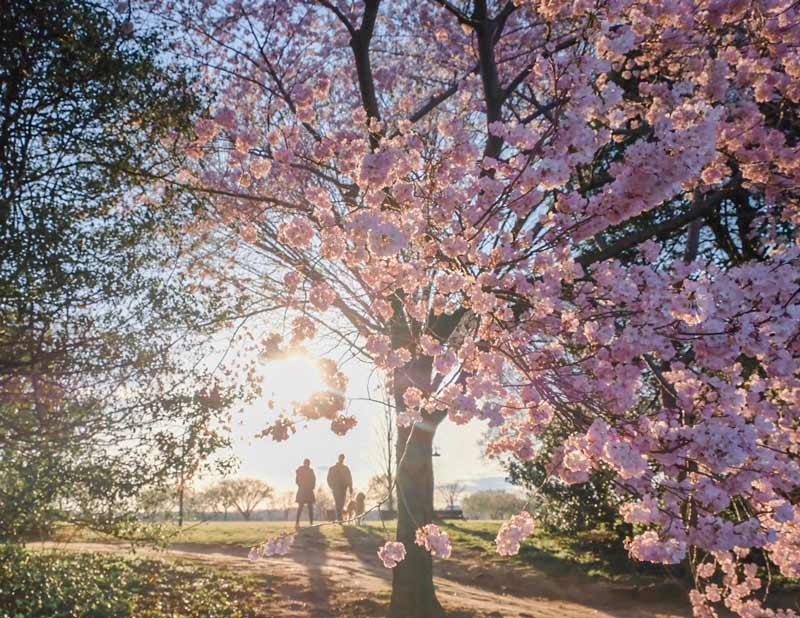 Things To Know About The 2020 National Cherry Blossom Festival In Dc