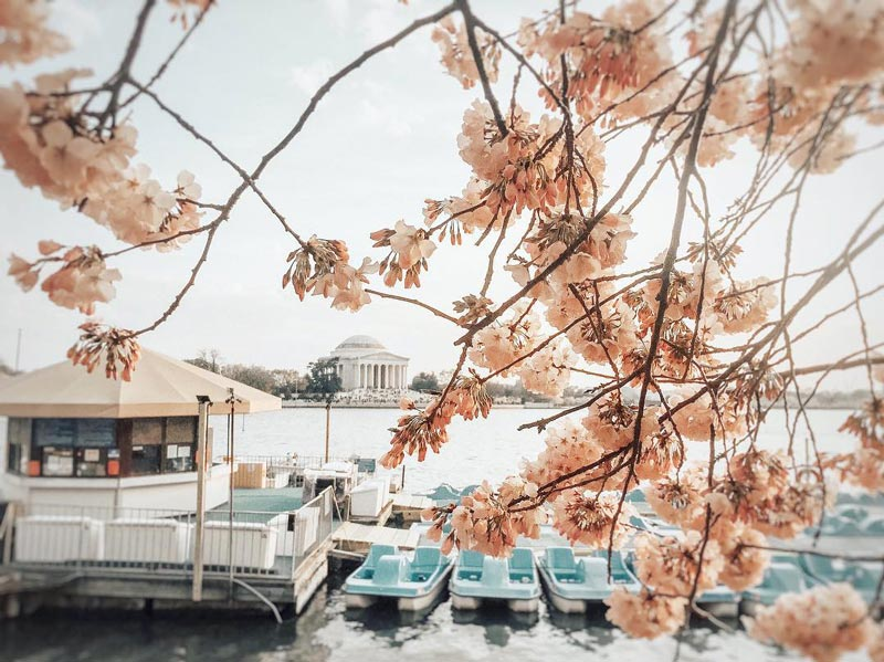 @jessieinthedistrict - Tidal Basin Paddle Boats surrounded by cherry blossoms - National Cherry Blossom Festival in Washington, DC