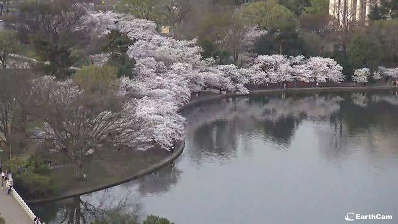 Live Cherry Blossom EarthCam Photo
