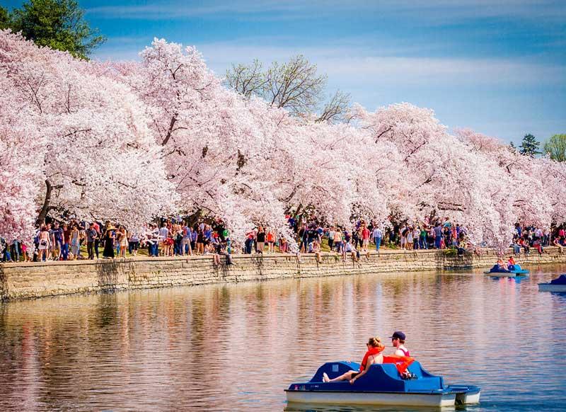 cherry blossom festival - 858×563