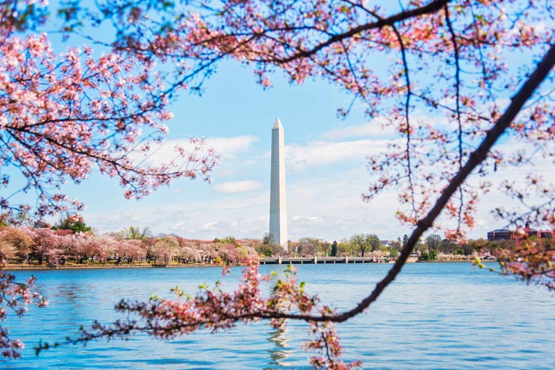 Cherry blossom trees framing the Washington Monument on the Tidal Basin - Spring National Cherry Blossom Festival in Washington, DC