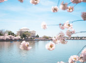 Spring in Washington, DC - National Cherry Blossom Festival at the Jefferson Memorial