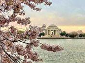 @brittmichele15 - Cherry blossom peak bloom sunrise over the Tidal Basin - Cherry blossom trees in Washington, DC