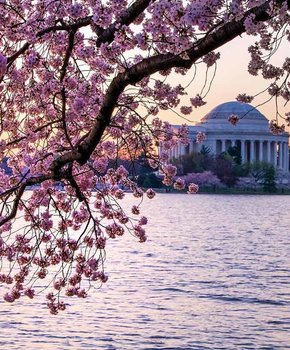 @miliman12 - View of the Jefferson Memorial and cherry blossoms from the Tidal Basin - Spring in Washington, DC