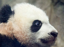 Baby Panda Bei Bei at the Smithsonian National Zoo