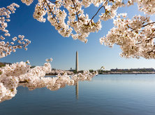 Cherry Blossoms on the Tidal Basin - National Cherry Blossom Festival - Things to Do This Spring in Washington, DC