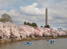 National Cherry Blossom Festival - National Mall - Washington, DC