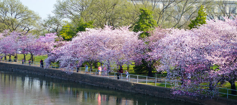 Annual Cherry Blossom Freedom Walk - April 1