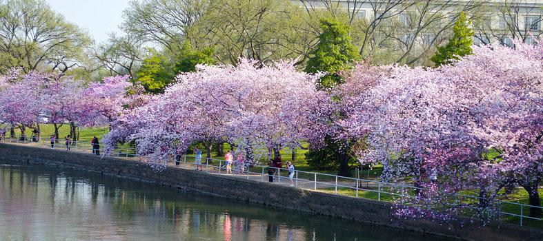 Annual Cherry Blossom Freedom Walk - Date TBD