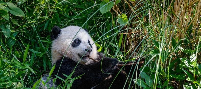Say 'Hi' to a panda at the National Zoo