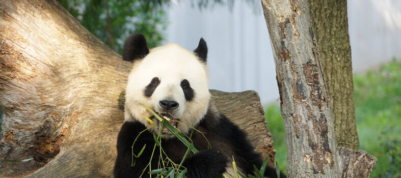 Re-visit the Zoo and watch the Giant Panda Cam