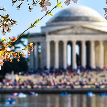 Cherry Blossoms at the Tidal Basin in front of the Jefferson Memorial