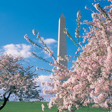 Cherry Blossoms at Monument