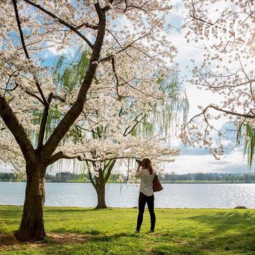 Free Things to Do This Spring in Washington, DC - National Cherry Blossom Festival Parade, Fireworks and More