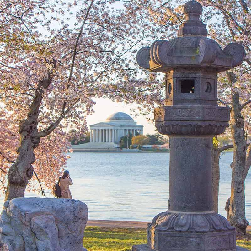 @transplantedindc - Cherry Blossoms around Tidal Basin and Japanese Lantern in full bloom - Spring in Washington, DC
