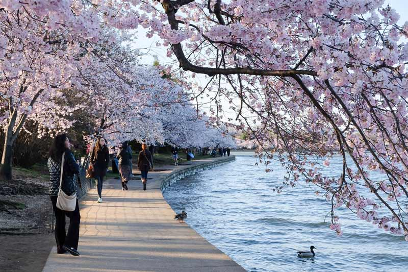 @amandaeisner - Visitors near Washington, DC Tidal Basin during National Cherry Blossom Festival cherry blossom tree peak bloom - Spring in DC